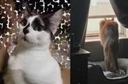 金剛芭比小貓咪,這樣的貓一拳能把我打哭很久吧…