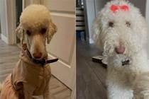妹子把狗放父母家暫養幾天,再看到它時傻眼了:這是我的狗?