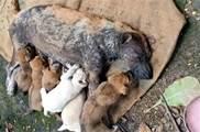 狗媽媽只剩「最後一口呼吸」,仍堅持照顧小狗,向人哀求:幫我照顧好孩子