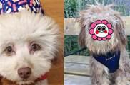 狗狗長了一張「人臉」 「勾魂瞳孔」+「完美微笑」 飼主無奈路人的異樣眼光