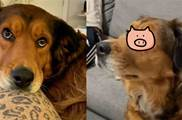 狗狗看到「心愛的小松鼠」居然出現在電視裡,被驚呆「眼睛都直了」