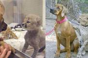獵豹妹被媽媽棄養後,暖心狗哥立馬接手照顧,結果他倆成了「哥們」