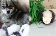 一隻土狗媽媽,竟生出了三隻「國寶寶寶」,友驚:爸爸是誰