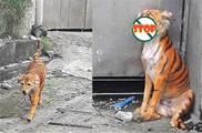 遠遠看到一條瘦巴巴的「老虎」,湊近一看氣壞了:誰把狗畫成這樣