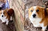 柯基走失1個月被發現「另有工作」,飼主無奈:豐富狗生閱歷嗎
