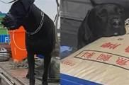 六旬大爺帶120斤大狗去壯膽,結果狗子跑得比他還快:人家還是個寶寶