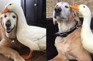 毛孩偷吃鴨飼料與鴨鴨「意外」結為好友,每天形影不離依偎在一起,網友:跨界友誼