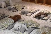 「狗狗幼兒園」集體蓋被排排「睡午覺」,其中有幾隻小狗「踢被子露肚肚」睡得不太老實