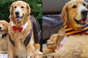惡魔小金毛搭配暖汪大金毛,兩隻狗狗一起玩耍睡覺,畫面超溫馨的!