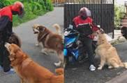 大佬金毛「帶一群惡犬小弟」在馬路上「搶劫」,網笑:願意每天過去讓牠們搶一輪~