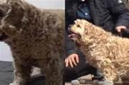 狗狗喜歡叼著石頭,主人要都不給,出門後還不停想要撿回家