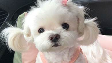 「冷門」又「好看」的5種寵物狗,一個比一個好看,在你心中哪種最漂亮