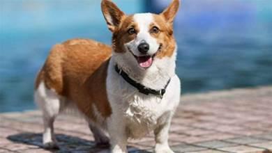 狗界「腿最短」的5種狗狗,柯基犬榜上有名,你最喜歡誰