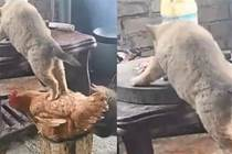 狗狗踩著雞的身體,爬到桌子上偷吃肉,汪:借雞行事,如狗添翼