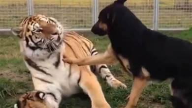 虎媽媽正在教育自己孩子,狗狗上前勸說,接下來請別笑