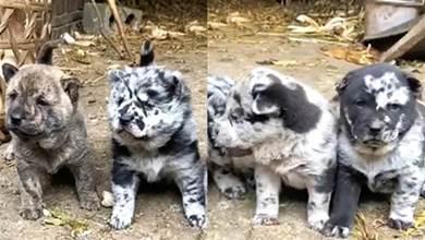 狗媽生下4只小奶狗,主人越看越感覺小狗顏色不對:這狗爸是誰