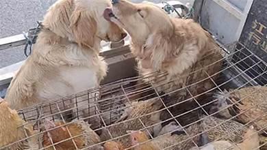 2只金毛和一車雞被送往屠宰場,同伴為其舔舐眼淚:別怕,有我在呢,主人卻在車上爆笑