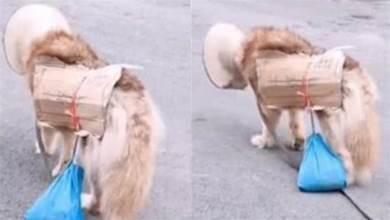 毛孩身上背著狗糧,脖子掛著「請收養」,漫無目的走在街上