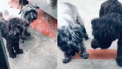 泰迪狗狗出去玩,領回家一隻流浪狗,主人父親大喊:快收養這只狗